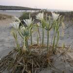Zambaku ranor, Pjescani ljiljan, Lulja, Cvijet