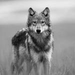Ujku, Vuk