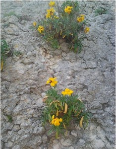 Lule bedençe në bedenin mbi Jalli