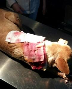Qeni i plagosur, Ranjen pas